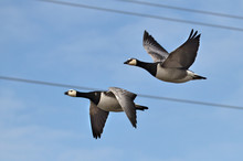Gooses In The Air