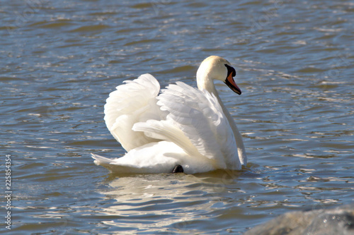 Swan spreading wings