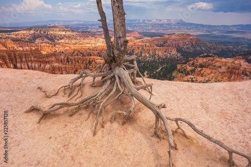 Tree roots, Bryce Canyon, Utah, USA
