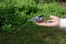 Chickadee Bird Checking Out Wo...
