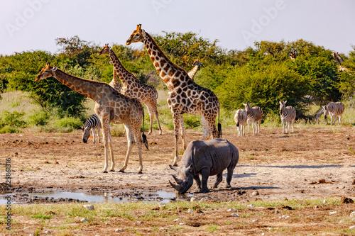 Giraffen, Zebras und ein Nashorn beim Trinken an einer Wasserstelle im Etosha Nationalpark in Namibia