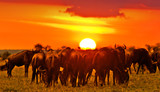 Fototapeta Sawanna - Wildebeests in the Maasai Mara National Park at sunset, Kenya