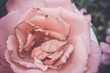 roses, garden, plants, botany, flowers