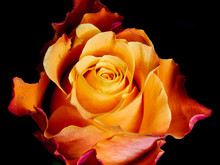 Multicolored Orange Rose On Black Background - Flame Abstract