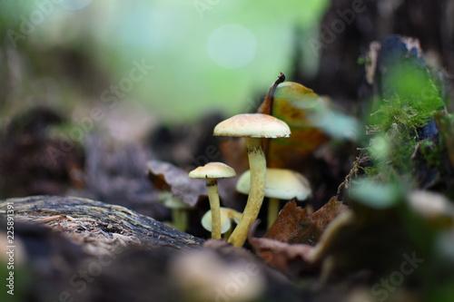 Fotografie, Obraz  gros plan sur des champignons dans une foret