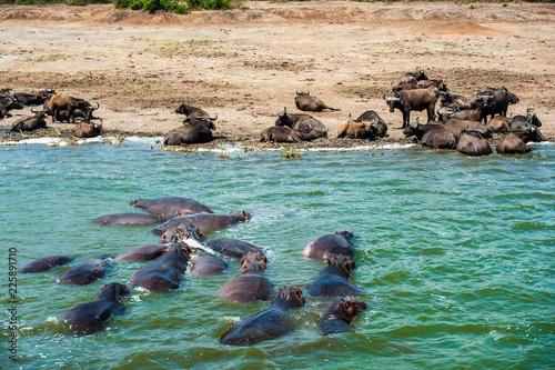 Bufali e ippopotami al Kazinga Channel, Uganda, Africa