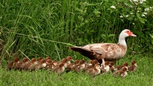 Muscovy Mother Duck And Duckli...