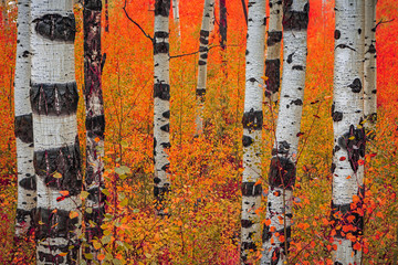 Panel Szklany Podświetlane Brzoza Rainy day in the aspen glades, Wasatch Mountains, Utah, USA.