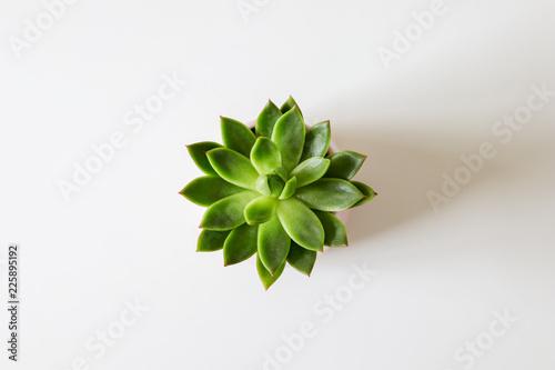 Fototapeta Top view of green houseleek succulent on white background. Flat lay. Minimalism obraz