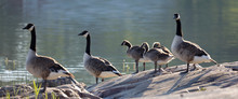Cute Canada Goose Bird Family Resting On A Rock By The Sea (latin: Branta Canadensis)