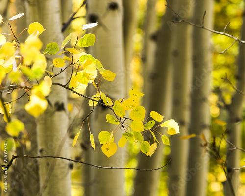Golden autumn aspens in Rocky Mountains