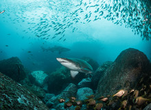 Shark In A School Of Fish Shot...