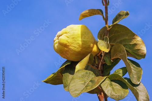 Branch of a quince tree ( Cydonia oblonga ) with leaves and one ripe fruit against a blue sky