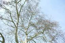 Large Platane Tree In Fall - View From Below Early In The Spring