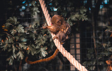Pygmy Marmoset Sitting On A Rope Eating A Grape Inside A Cage