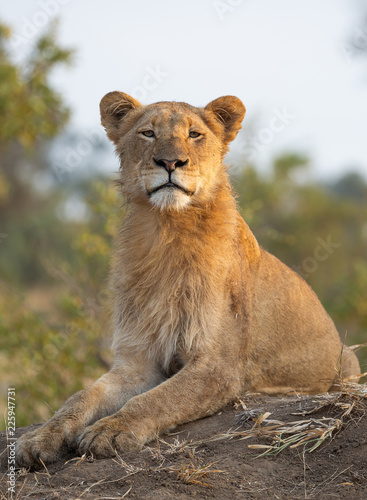 Photo  Young male lion looking at camera with a perfect upright posture - image capture