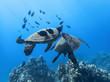 Pair of Sea Turtles in School of Black Fish Over Reef Underwater