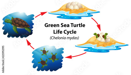 Fotografie, Obraz  Green sea turtle life cycle
