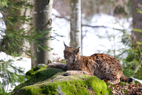 Spoed Foto op Canvas Lynx Eurasian Lynx (Lynx Lynx) in the Bavarian Forest National Park (Nationalpark Bayerischer Wald) in Bavaria, Germany. The Lynx was reintroduced to the Bavarian Forest in the 1990s.