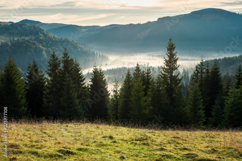 Fototapeten Wald spruce forest in foggy valley. beautiful autumn scenery in mountains at sunrise. view from the hill