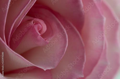 rose de couleur rose et blanche en gros plan en vue ...