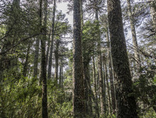 Araucaria Forest In National P...