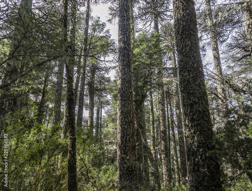 Araucaria forest in National Park Nahuelbuta, South of Chile. Canvas Print