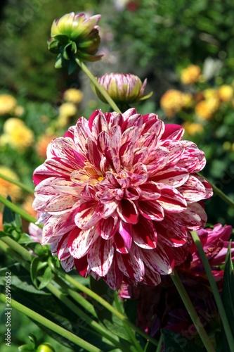 pretty dahlia in a garden
