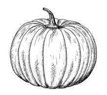 Drawing Of Pumpkin - Hand Sketch Of Cucurbita, Black And White Illustration