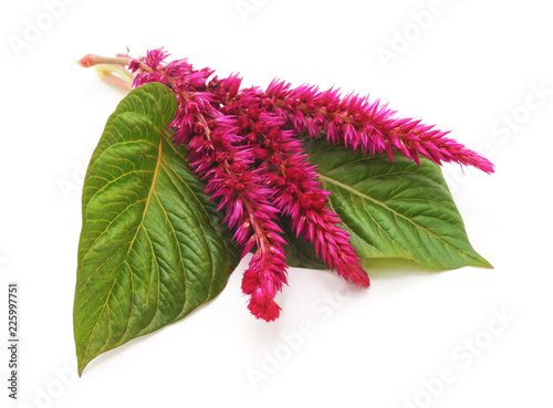 Photo Amaranth with velvet flower.