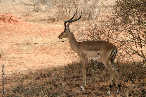 Fotobehang Antilope Kenya, Tsavo East - Antelope in their reserve