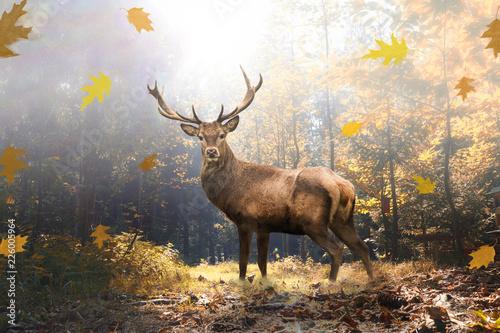 Foto auf Leinwand Hirsch Stolzer Hirsch im herbstlichen Wald bei Lichteinfall