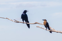 Great-tailed Grackle (male At ...