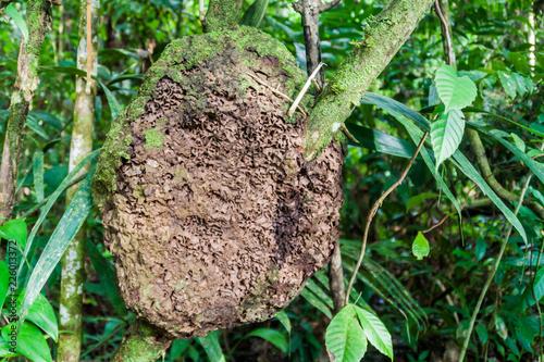 Fotografie, Obraz  Termite nest in Cockscomb Basin Wildlife Sanctuary, Belize.