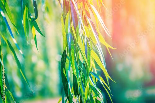 Foto auf Leinwand Lime grun Green willow branches