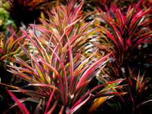 Red Striped Green Cordyline Fruticosa Growing