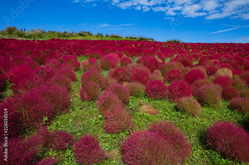 Tuinposter Bordeaux Kochia and cosmos bush with hill landscape Mountain