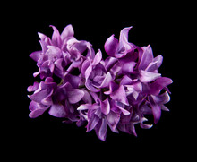 Lilac Flowers Isolated On A Black Background