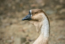 Portrait Of Brown Colored Swan...