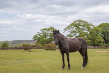 Wild New Forest Pony Looking Towards The Camera.