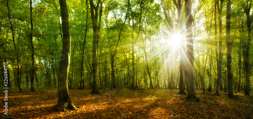 Forest of Beech and Oak Trees illuminated by sunbeams through fog