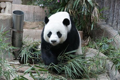 Deurstickers Panda Playful Male Panda in Thailand