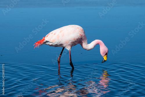 Foto op Aluminium Flamingo Flamingo in salt Laguna Canapa , Altiplano, Bolivia