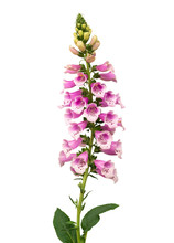 Purple Foxglove (Digitalis Purpurea) Flowers Isolated On White Background, Clipping Path Included