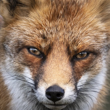 Close Up Of The Face Of A Staring European Red Fox (Vulpes Vulpes)