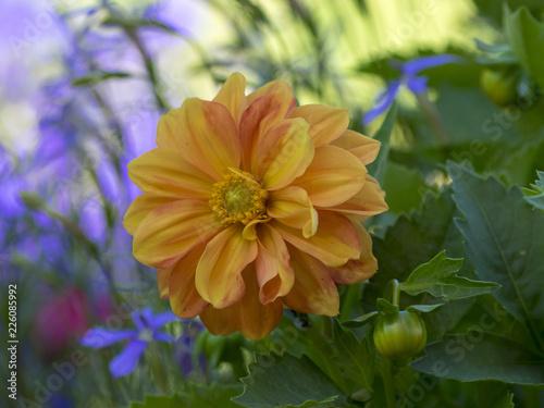 Dahlia à fleurs semi-doubles aux pétales de couleur orange Poster Mural XXL