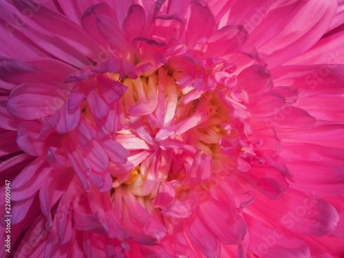 Poster Rose Close-up of the Aster Bud. Rose petals. Garden flower.