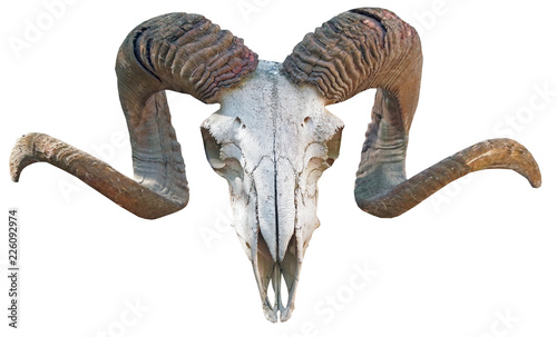 Fotografia skeleton, sheep s head with horns