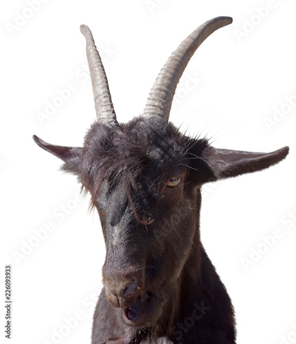 Portrait of black goat on white