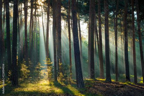 Fototapeten Wald Sonnenstrahlen im Wald am Morgen im Herbst